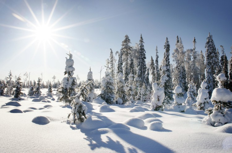 Taiga Winter
