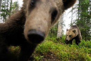 karhu susi ahma valokuvaus katselu luonto
