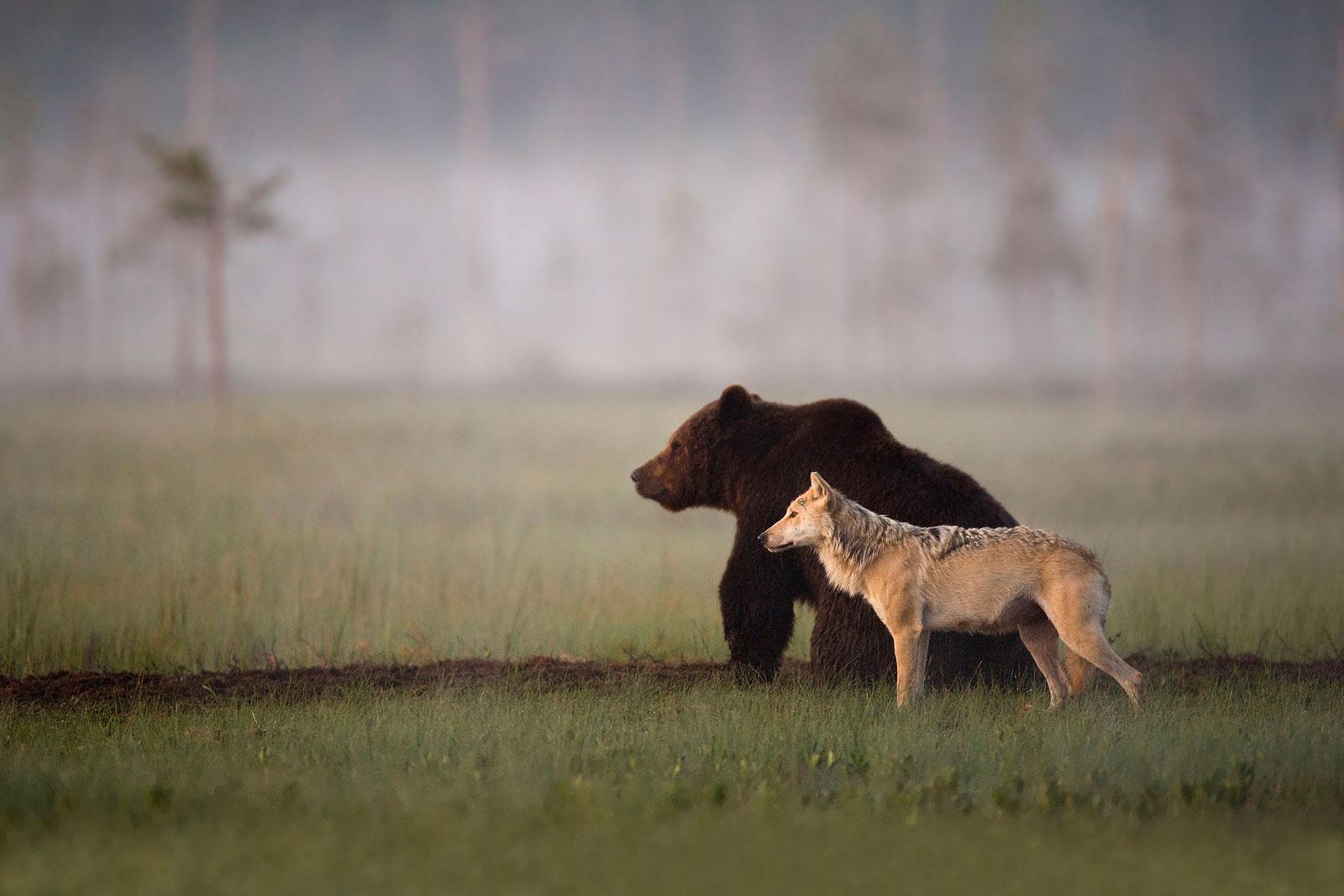 karhu susi ahma valokuvaus katselu wild taiga