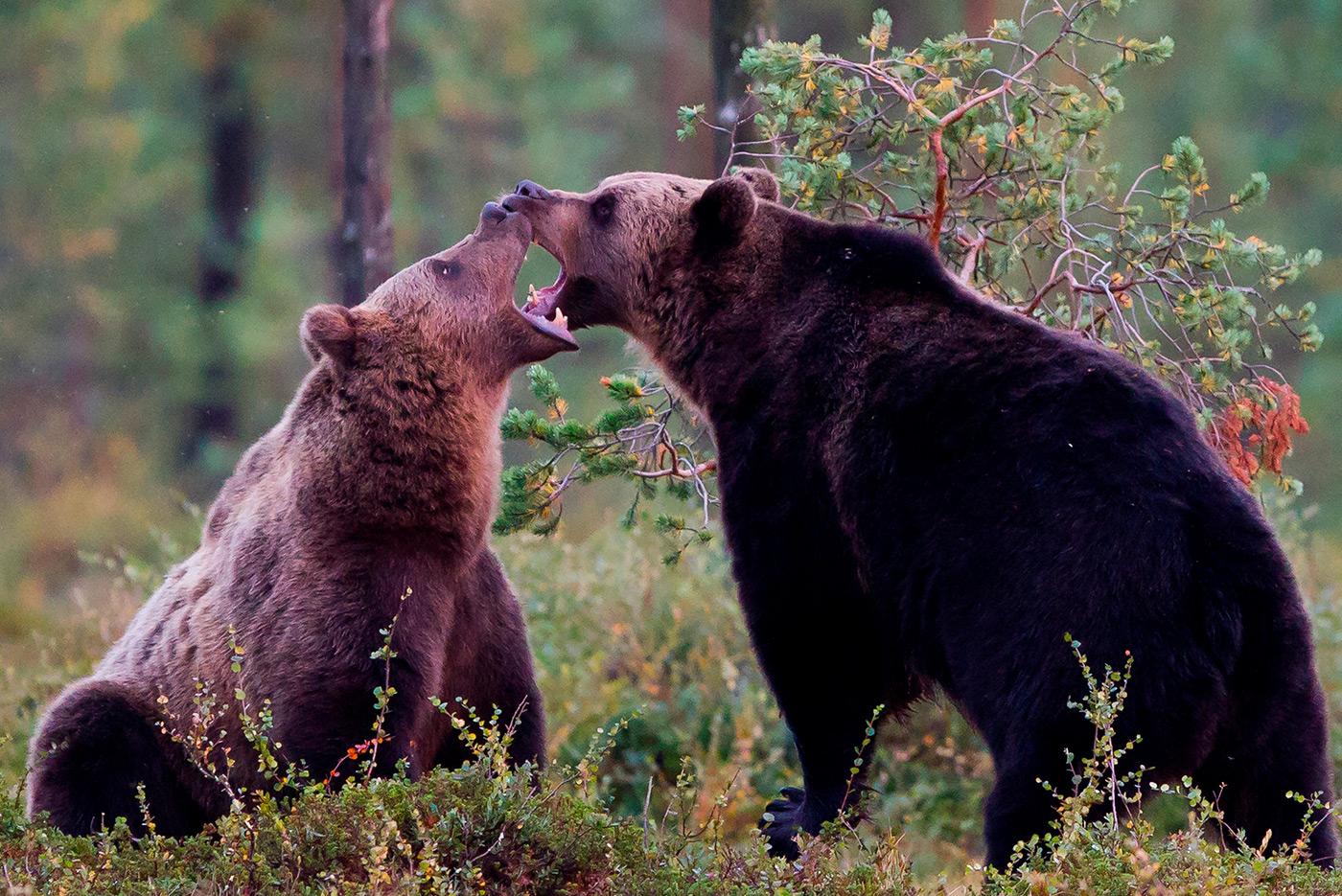 Karhujen kuvausta